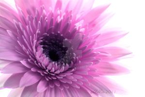 Gerbera by gaZeNn