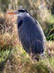 Yet More Stalking Heron by Mincingyoda