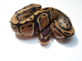 Baby Female Normal #1 by ReptileMan27