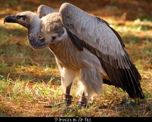 White Backed Vulture Zip 2 by SalsolaStock