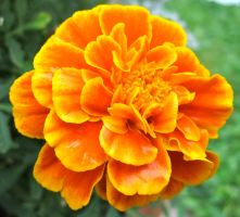 Marigolds in the backyard by ChrisMaster327