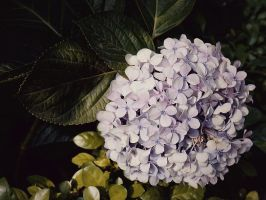 Sweet Hydrangea by WillTC