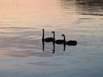 Three Little Swans by catemate