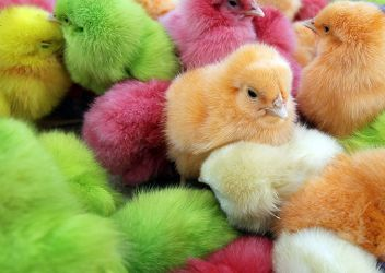 color chicks by sowhataboutme