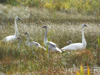Swan family, last day in the nest by lasair44