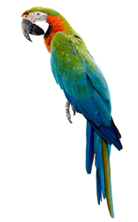Parrot PNG by LG-Design