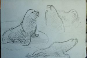 Quick Sealion Study by Clayofmyclay