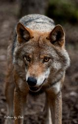 Evil grin of a wolf by PictureByPali