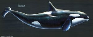 Orcinus Orca Restored by TheDragonofDoom