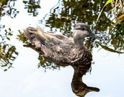 Female Mallard Duck - 1626 by creative1978