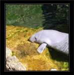 Manatee 1 by spop4good