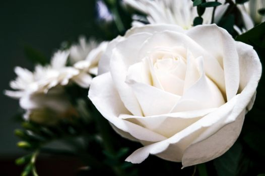 White Rose by perfect12386