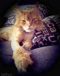 Momo the Maine coon by Soleildenuit50