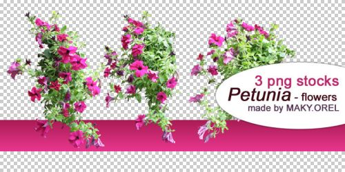 PNG STOCK SET: Petunia flower 2 by MAKY-OREL