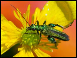 Oedemera Nobilis by Wivelrod