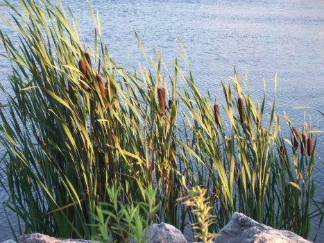 Cattails in a Breeze by tigerseyedragonsfire
