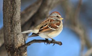 Tree Sparrow by boogster11