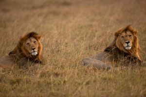 African Lion 43 by catman-suha
