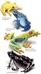 Some frogs by AmadeuBlasco