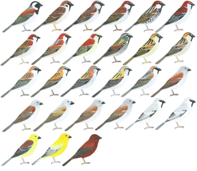 Sparrows (males) by Cefal27
