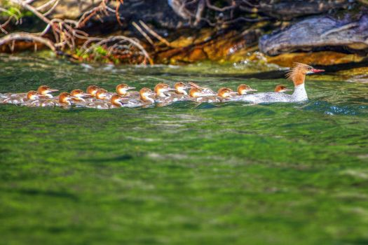 15 or 16 Mergansers by DontHideTheMadness