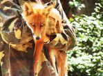 Red Fox 02 by FoxRAGE-Stock