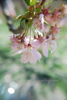 Cherry Blossoms by RowanLewgalon