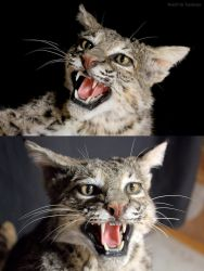 Cat in Pursuit - Closeups by WeirdCityTaxidermy