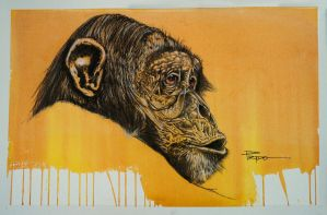 Chimpanzee by HPRADO
