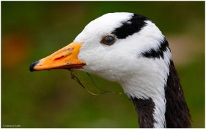 Bar Headed Goose Portrait by andy-j-s
