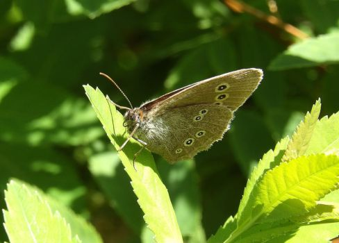 Another Brown Butterfly by TeleviCat