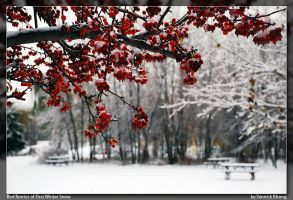 Red Berries of First Snow by confucius-zero