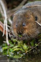 Water Vole 05 by Alannah-Hawker