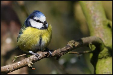 Bluetit1 by cycoze