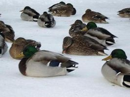 Gathering of the Ducks color by bloodyban