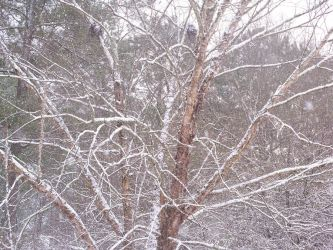 Snow Covered Trees by Kisa-Kain