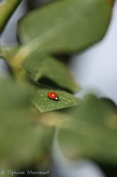 Ladybird by TiphyM
