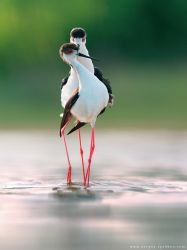 Black-winged stilts in courtship display by Sergey-Ryzhkov