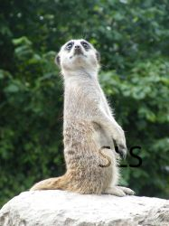 Meerkat at Dudley Zoo by Shadowland13