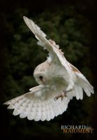 Barn Owl by maidment