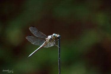 Dragonfly Series (Great Blue Skimmer) by sioranth