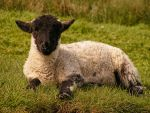 Lamb Chilling on the Grass