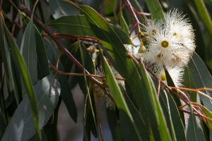 flowering gum by serasfan