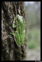 Tree frog by Alabamaphoto