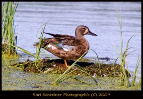 Blue Winged Teal Duck 3 by KSPhotographic