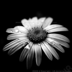 Wet Daisy Holga by l8