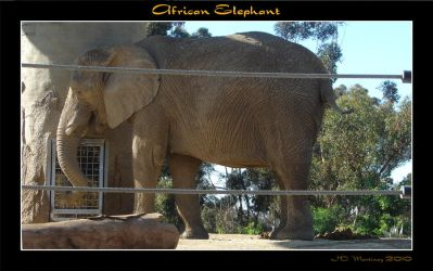 African Elephant by dragonpyper