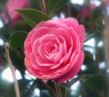 Pink Camillia Flower - Stock by Sassy-Stock