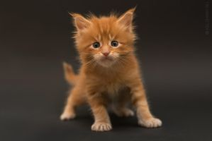 Maine-coon kittens 5 by Kelshray-photo