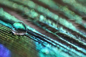 .: Droplet of a peacock :. by Katosu